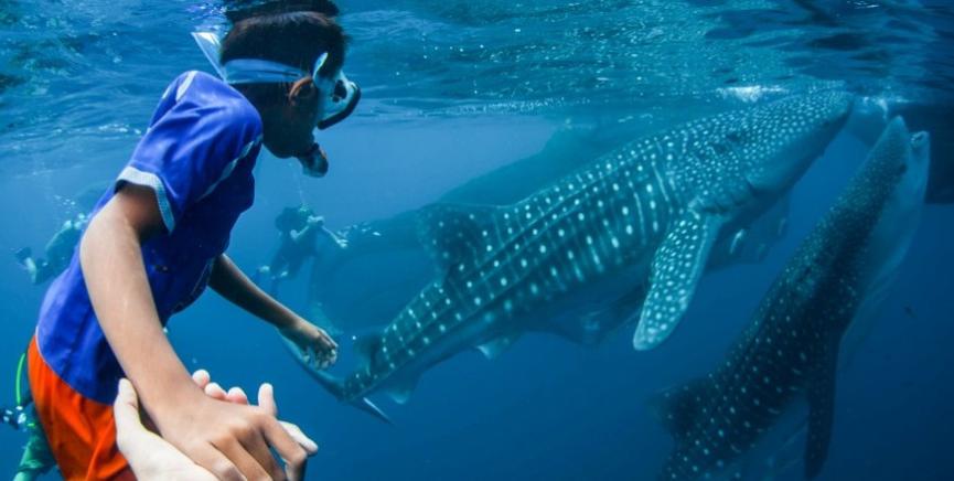 Китовые акулы Себу